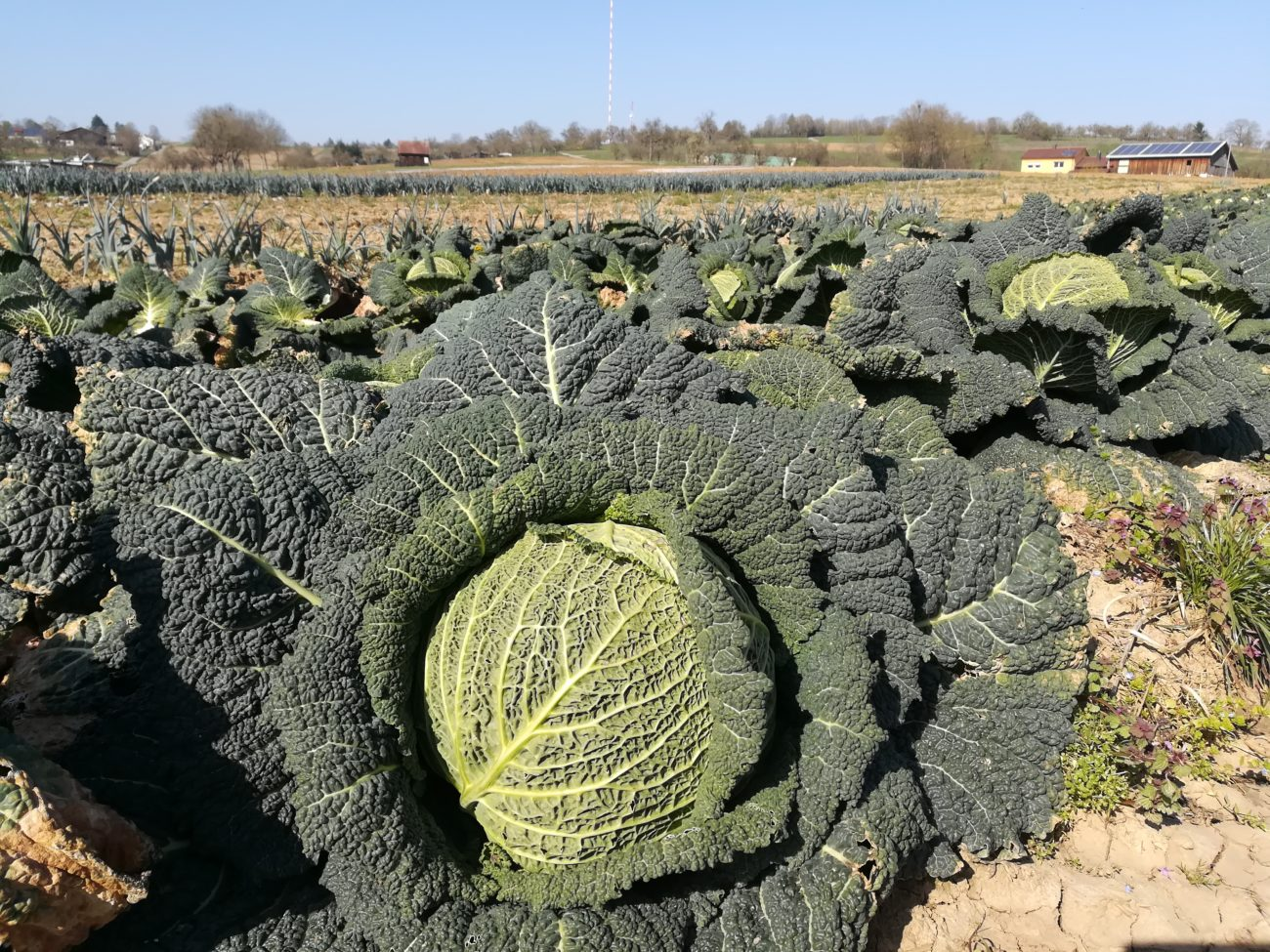 Frisches Gemüse vom Direkterzeuger